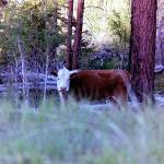 """""""cow PIC 1631"""" by bigrock99"""