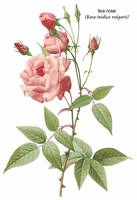 Tea Rose (Rosa Indica Vulgaris) Botanical Art