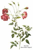 Tea Rose (Rosa Indica Sertulata) Botanical Art