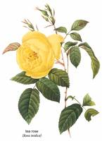 Tea Rose (Rosa Indica) Botanical Art