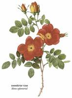 Sweetbriar Rose (Rosa Eglanteria) Botanical Art