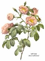 Soft Rose (Rosa Mollissima) Botanical Art