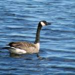 """Canada Goose"" by dansmith"