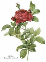 Red Rose (Rosa Gallica Pontiana) Botanical Art