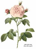 Pale Pink Rose (Rosa Alba Regalis) Botanical Art