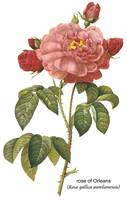 Rose of Orleans Botanical Art