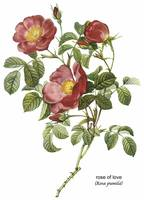 Rose of Love (Rosa Pumila) Botanical Art