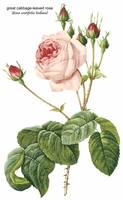 Great Cabbage-Leaved Rose Botanical Art