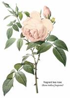 Fragrant Tea Rose Botanical Art