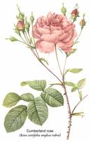 Cumberland Rose Botanical Art
