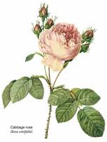 Cabbage Rose (Rosa Centifolia) Botanical Art