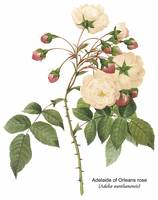 Adelaide of Orleans Rose Botanical Art