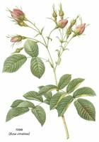 Rose (Rosa Evratina) Botanical Art