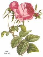 Rose (Rosa sp.) Botanical Art