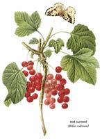 Red Current (Ribes Rubrum) Botanical Art