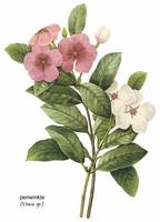 Periwinkle (Vinca sp.) Botanical Art