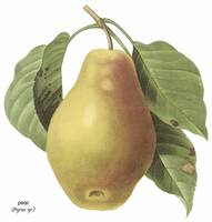Pear (Pyrus sp.) Botanical Art