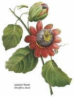 Passion Flower (Passiflora Alata) Botanical Art
