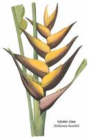 Lobster Claw (Heliconia Humilis) Botanical Art