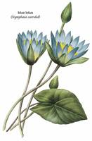 Blue Lotus (Nymphaea Caerulea) Botanical Art