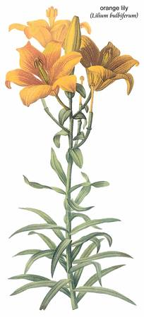 Orange Lily (Lilium Bulbiferum) Botanical Art