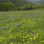 """""""Colorado Meadow"""" by anniepics"""