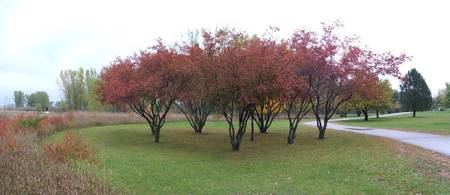 Red Maples in full color