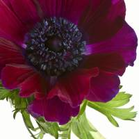 anemone by julie scholz