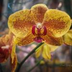 """YELLOW ORCHID"" by shaynaphotography"