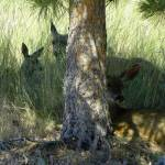 """""""Deer Relaxing In The Shadow Of The Tree"""" by vpicks"""