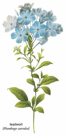 Leadwort (Plumbago Caerulea) Botanical Art