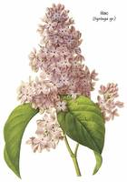 Lilac (Syringa sp.) Botanical Art