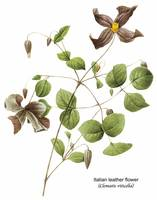 Italian Leather Flower (Clematis Viticella) Botani