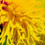 """Yellow Dahlia Abstract"" by judithschmidt"