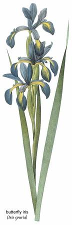 Butterfly Iris (Iris Spuria) Botanical Art