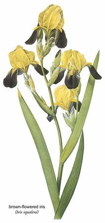 Brown-Flowered Iris (Iris Squalens) Botanical Art