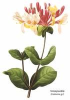 Honeysuckle (Lonicera sp.) Botanical Art