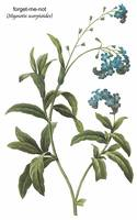 Forget-Me-Not (Myosotis Scorpioides) Botanical Art