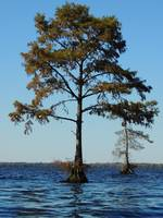 A tree in the Middle of the Great Dismal Swamp