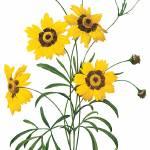"""""""Coreopsis (Coreopsis Elegans) Botanical Art"""" by ArtLoversOnline"""
