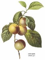 Crab Apple (Malus sp.) Botanical Art
