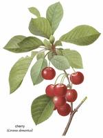 Cherry (Cerasus Domestica) Botanical Art