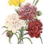 """Carnation (Dianthus sp.) Botanical Art"" by ArtLoversOnline"
