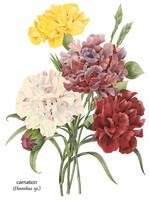 Carnation (Dianthus sp.) Botanical Art