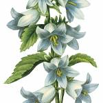 """Bellflower (Campanula sp.) Botanical Art"" by ArtLoversOnline"