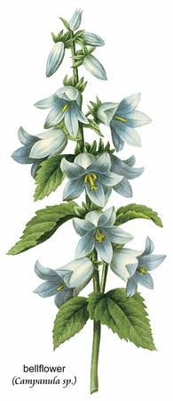 Bellflower (Campanula sp.) Botanical Art