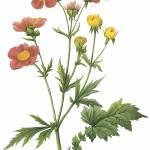 """Avens (Geum Coccineum) Botanical Art"" by ArtLoversOnline"
