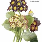 """Auricula (Primula Auricula) Botanical Art"" by ArtLoversOnline"