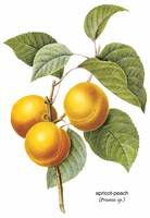 Apricot-Peach (Prunus sp.) Botanical Art