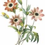 """Anemone (Anemone Stellata) Botanical Art"" by ArtLoversOnline"